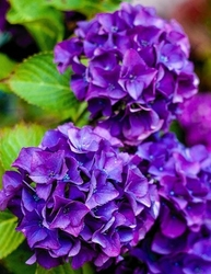 Hortensja ogrodowa europa fioletowa księżniczka