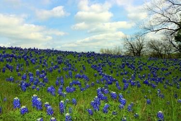 Fototapeta dzikie niebieskie kwiaty fp 1567