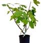 Figa pospolita duży krzew