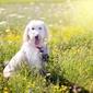Fototapeta pies na łące pełnej kwiatów fp 2967
