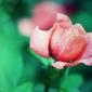 Róża - plakat premium wymiar do wyboru: 91,5x61 cm