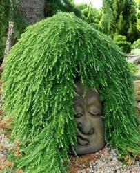 Choina kanadyjska jeddeloh zielona kula miniatura