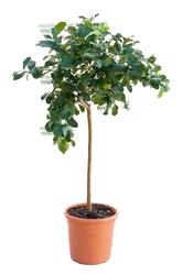 Cytryna zagara bianca drzewo
