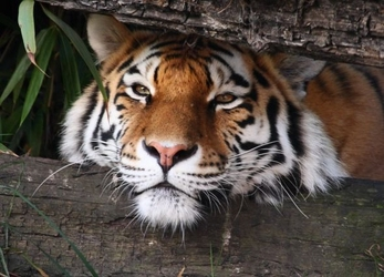 Ukryty tygrys - fototapeta