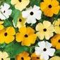 Tunbergia oskrzydlona – mix nasion – kiepenkerl
