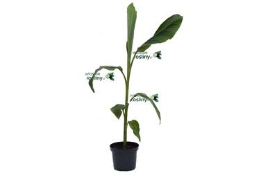 Bananowiec musa yunnanensis duże drzewko