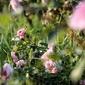 Pudrowe róże - plakat premium wymiar do wyboru: 45x30 cm