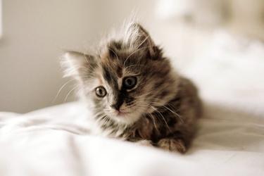 Fototapeta kotek w pościeli fp 2998