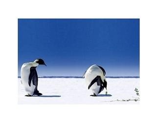 Pingwiny - globalne ocieplenie - reprodukcja