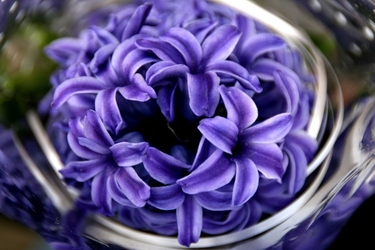 Fototapeta kwiat, hiacynt 322