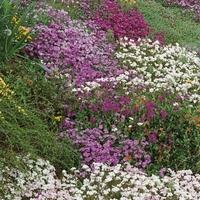 Kwiaty na skalniaki – mix nasion – kiepenkerl