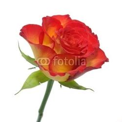 Obraz na płótnie canvas trzyczęściowy tryptyk róża 2a