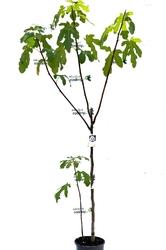 Figa pospolita duże drzewo