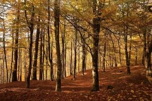 Fototapeta na ścianę jesienny las   fp 3357