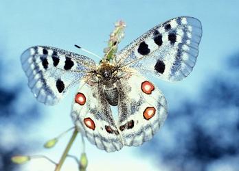 Motyl Apollofalter - fototapeta