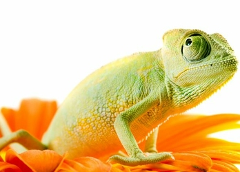 Kameleon na kwiatku - fototapeta