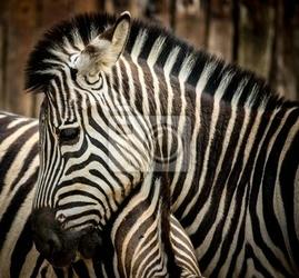 Obraz close-up z zebry