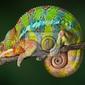 Obraz spanie chameleon
