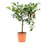 Cytryna ovale di sorrento duże drzewko