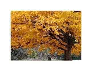 Beautiful fall color tree - reprodukcja