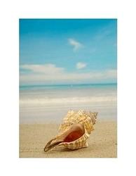 Conch shell on beach - reprodukcja