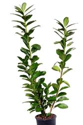 Laurowiśnia wschodnia duzy krzew