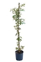 Jaśmin azoricum pnącze