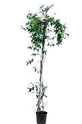 Jaśmin pnącze rhyncospermum jasminoides