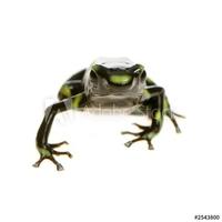 Fotoboard na płycie grenouille - dendrobates auratus