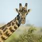 Obraz na płótnie canvas dwuczęściowy dyptyk zbliżenie portret żyrafy, serengeti national park, serengeti