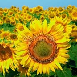 Obraz na płótnie canvas dwuczęściowy dyptyk pole słoneczników na niebieskim niebie