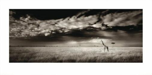 Safari, Żyrafa - reprodukcja