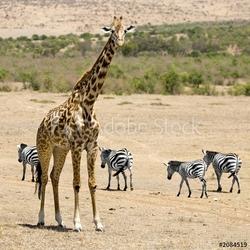 Obraz na płótnie canvas czteroczęściowy tetraptyk żyrafa masajska