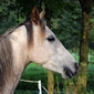 Fototapeta głowa konia na zielonym tle fp 2944