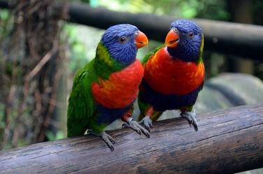 Fototapeta kolorowe papugi na patyku fp 2400