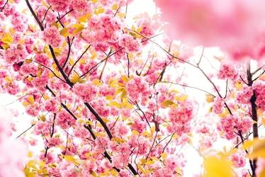 Fototapeta na ścianę różowe kwitnące drzewo  fp 4096