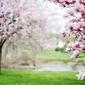 Fototapeta kwitnąca magnolia fp 1551