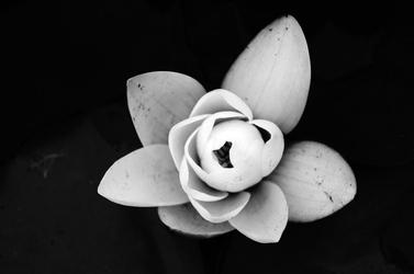 Fototapeta kwiat wersja biało czarna fp 317