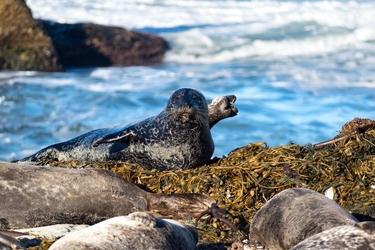 Fototapeta foka leżąca samotnie na skale fp 2498