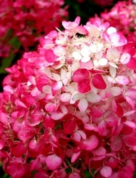 Hortensja diamant rouge wielki różowy bukiet