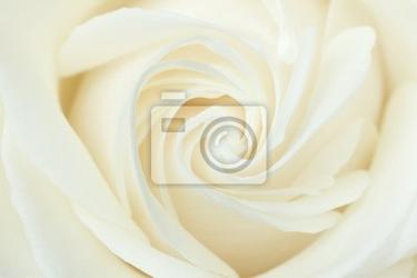 Obraz close-up z białej róży