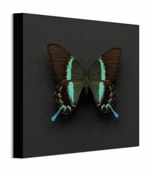 Motyl Paziowaty - obraz na płótnie