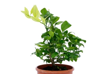 Limetta pursha duży krzew