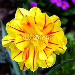 Fotoboard na płycie tulipan.