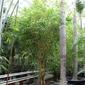 Bambusa vittata