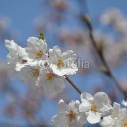 Obraz na płótnie canvas czteroczęściowy tetraptyk japoński kwiat wiśni