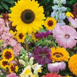 Kwiaty wysokie – mix nasion – kiepenkerl