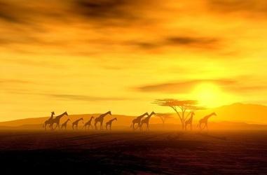 Safari, żyrafy - fototapeta