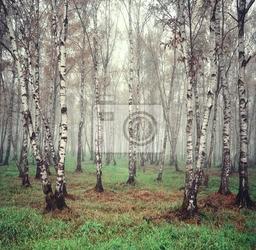 Obraz brzoza drzew w mgle