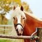 Fototapeta koń w drewnianej zagrodzie fp 2464